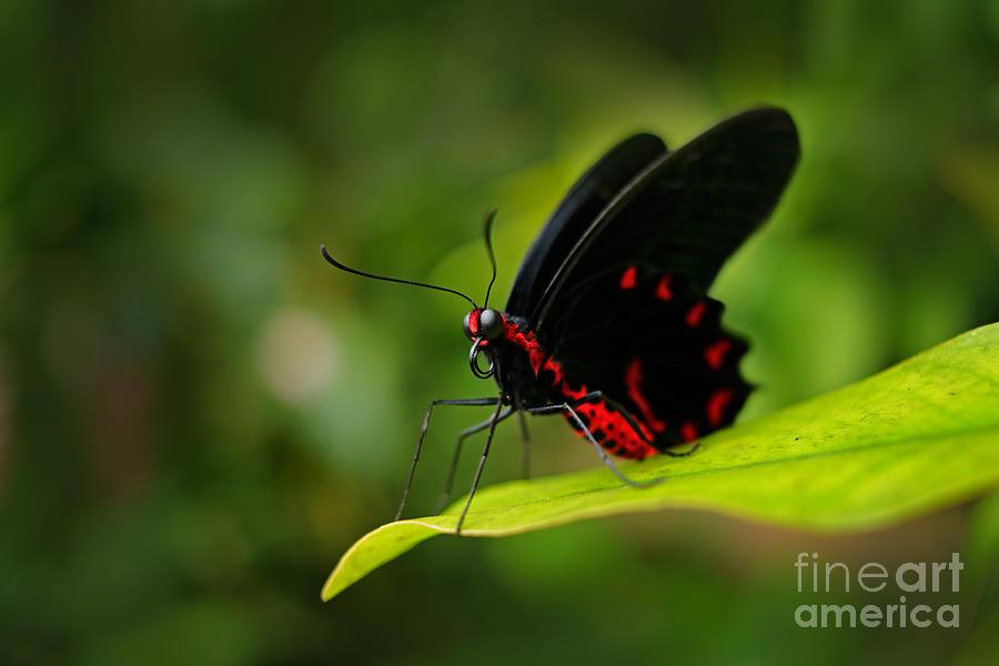 Beauty Photograph - Beautiful Black And Red Poison by Ondrej Prosicky