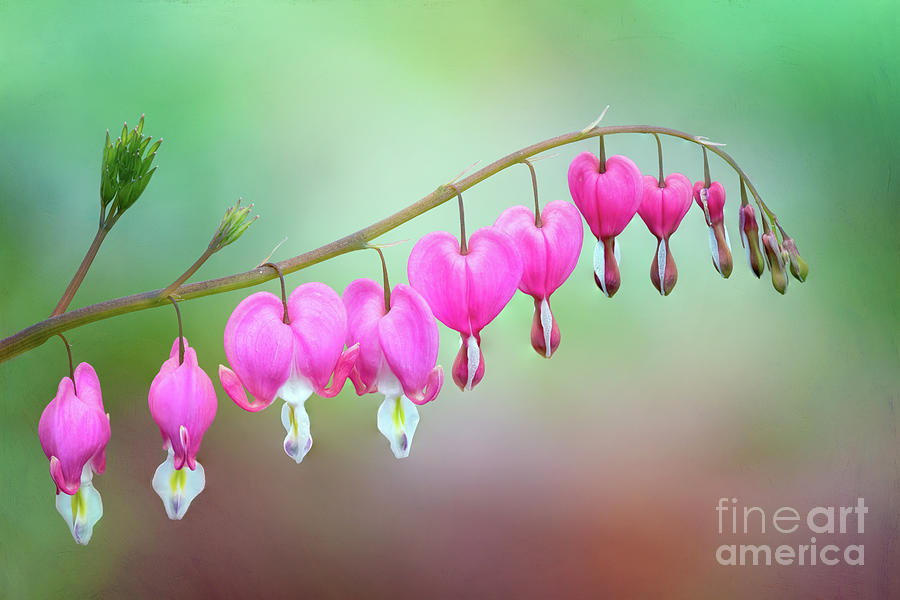 Beautiful Bleeding Hearts by Anita Pollak