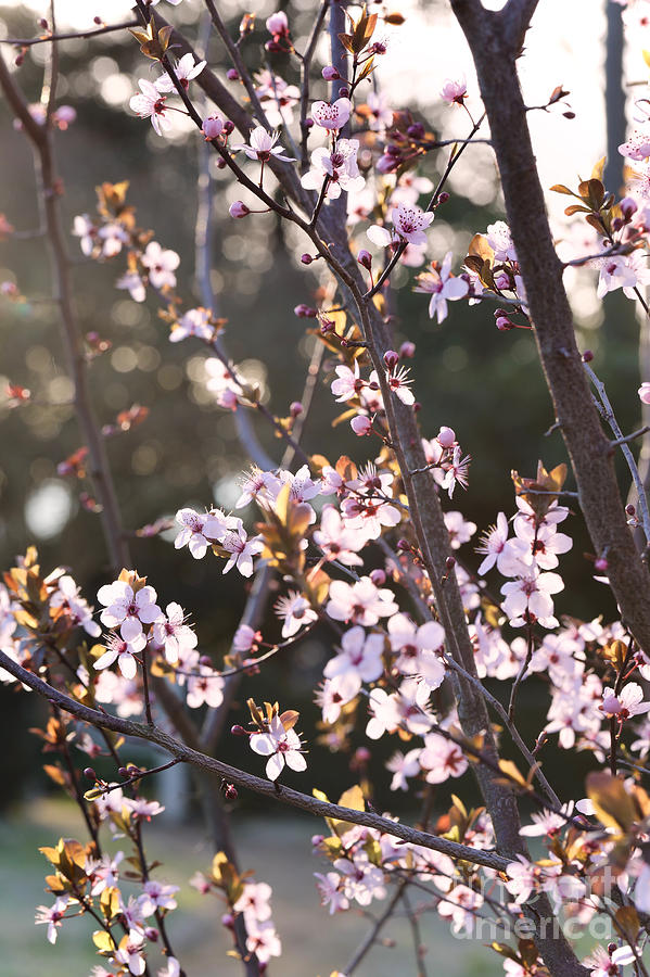 Beautiful Blossoms by Rachel Morrison