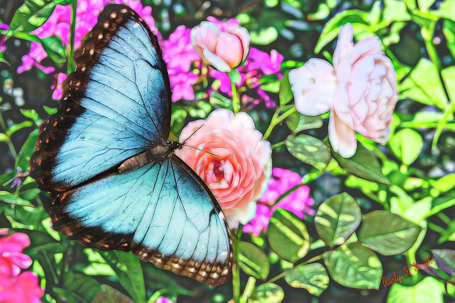 Beautiful Blue Morpho  Butterfly on pink Rose. by Rusty R Smith