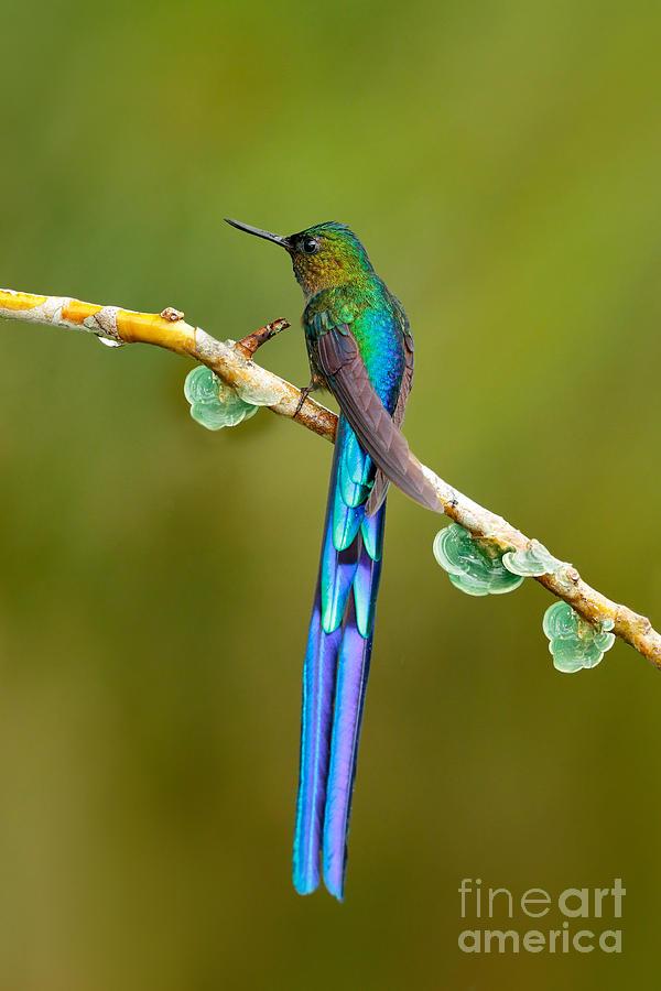 Magic Photograph - Beautiful Blue Glossy Hummingbird With by Ondrej Prosicky