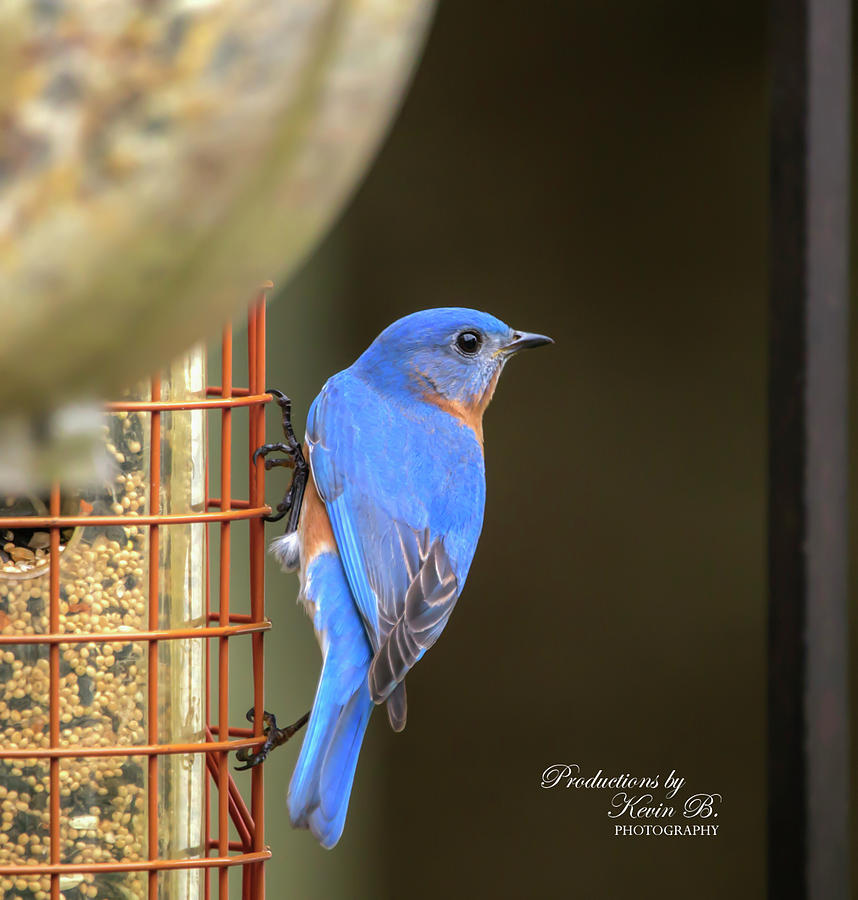 Beautiful Bluebird  by Kevin Banker