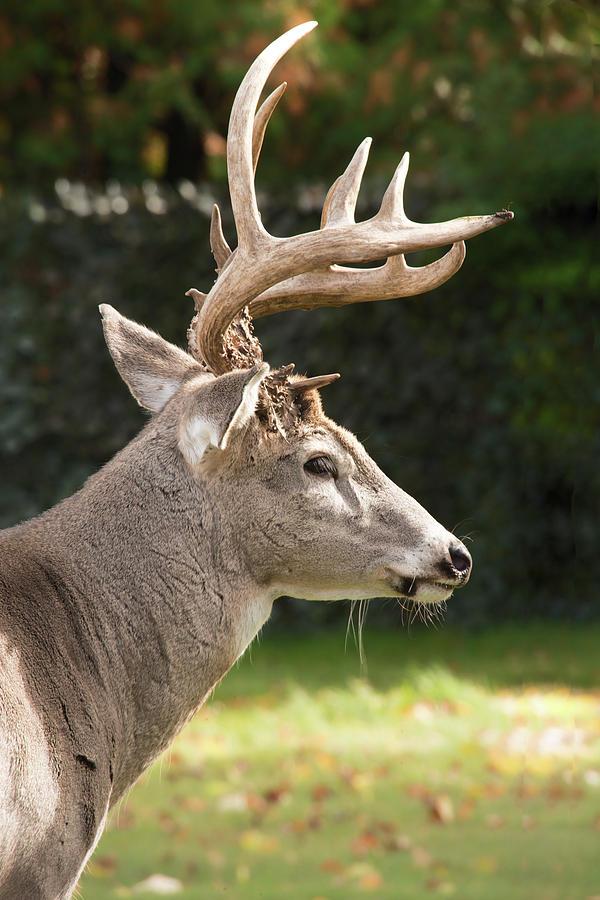 Beautiful Buck by Denise LeBleu