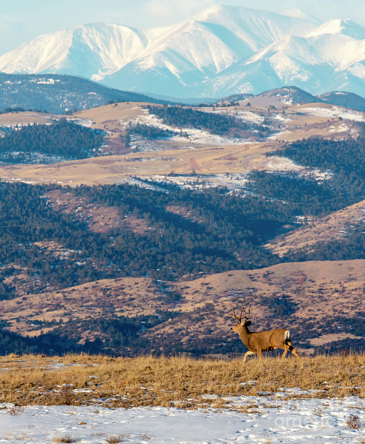 Beautiful Buck Mule Deer And The Sangre Photograph