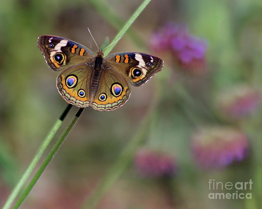 Beautiful Buckeye Butterfly 2019 by Karen Adams