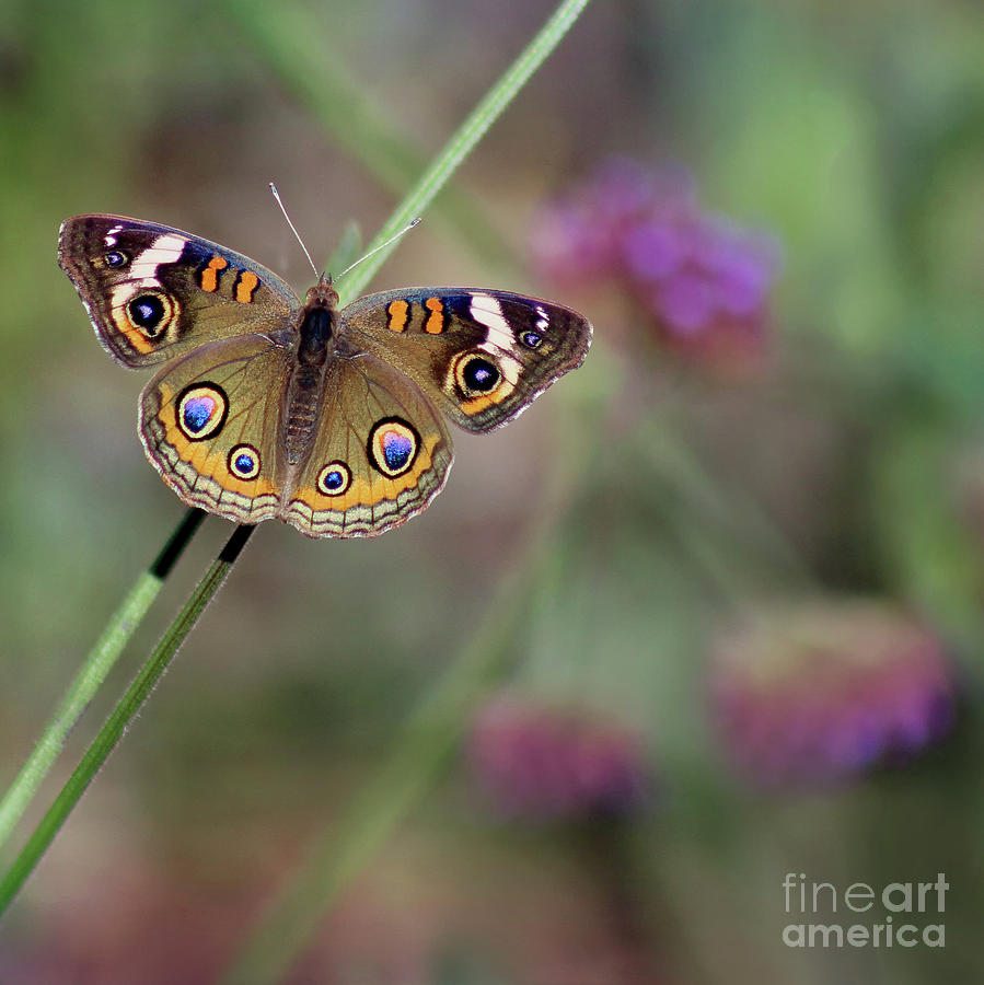 Beautiful Buckeye Butterfly Square by Karen Adams