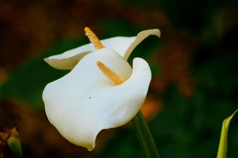 Beautiful Calla Lilies In Morning Light Photograph By Ladonna Mccray