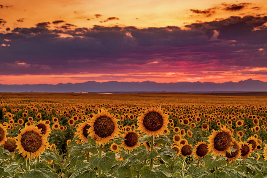 Beautiful Colorado Sunset Over Sunflower Fields by Teri Virbickis