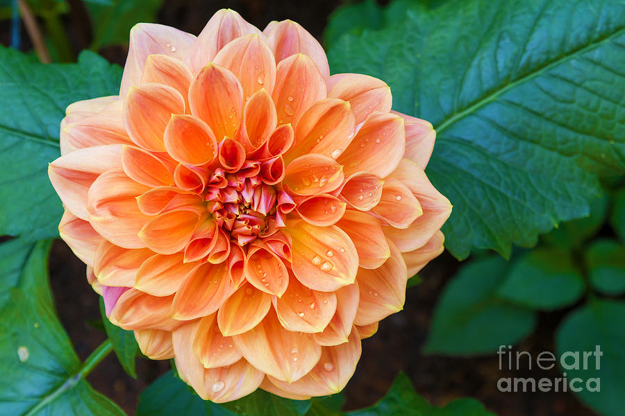 Drop Photograph - Beautiful Dahlia Flower And Water Drop by Luckypic