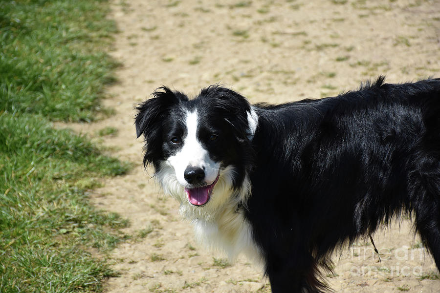 """Beautiful Collie Dog greeting card-/"""" Collie/"""" Black and White//"""