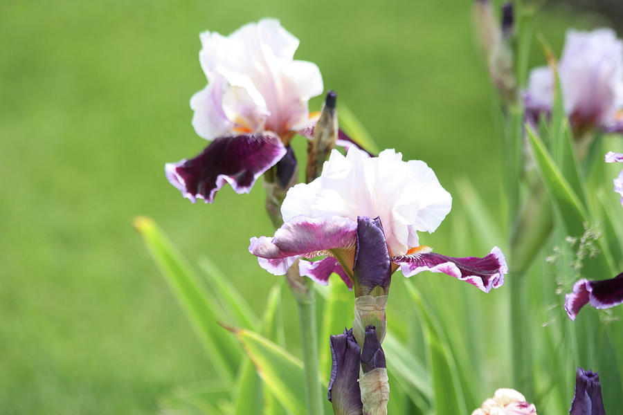 Beautiful Iris Flowers by Ann Murphy