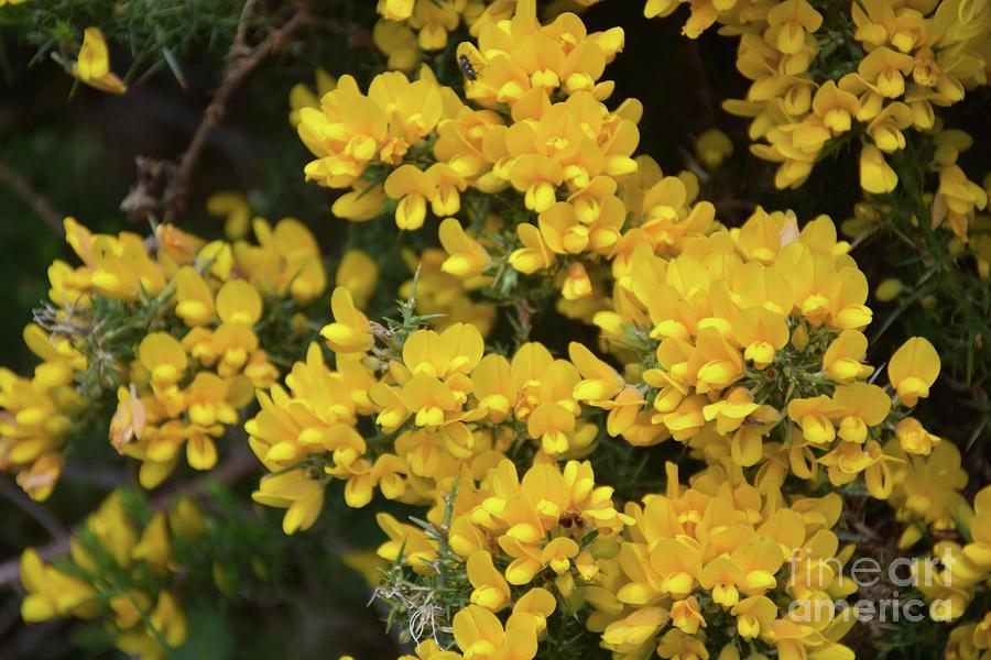 Beautiful Golden Yellow Flowering Evergreen Gorse Bush In Bloom