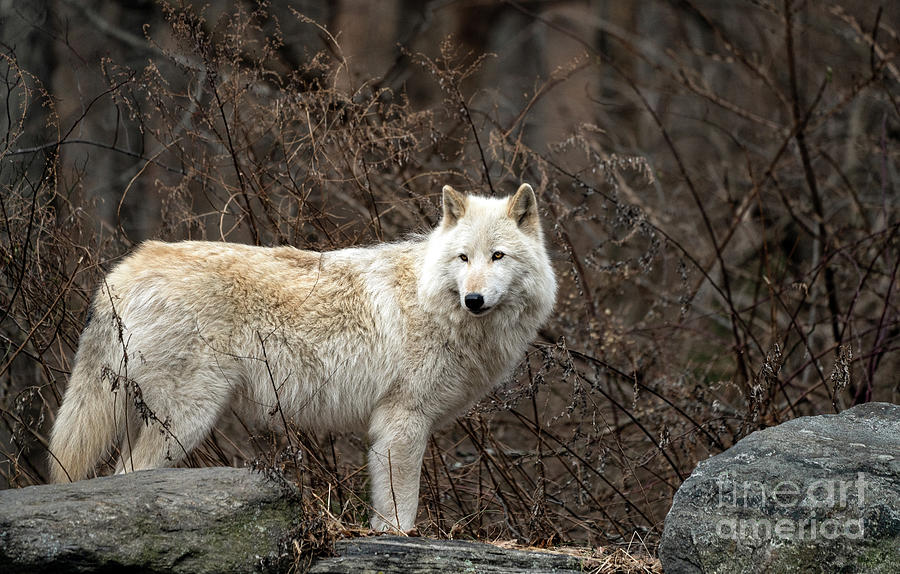 Beautiful gray wolf by Sam Rino