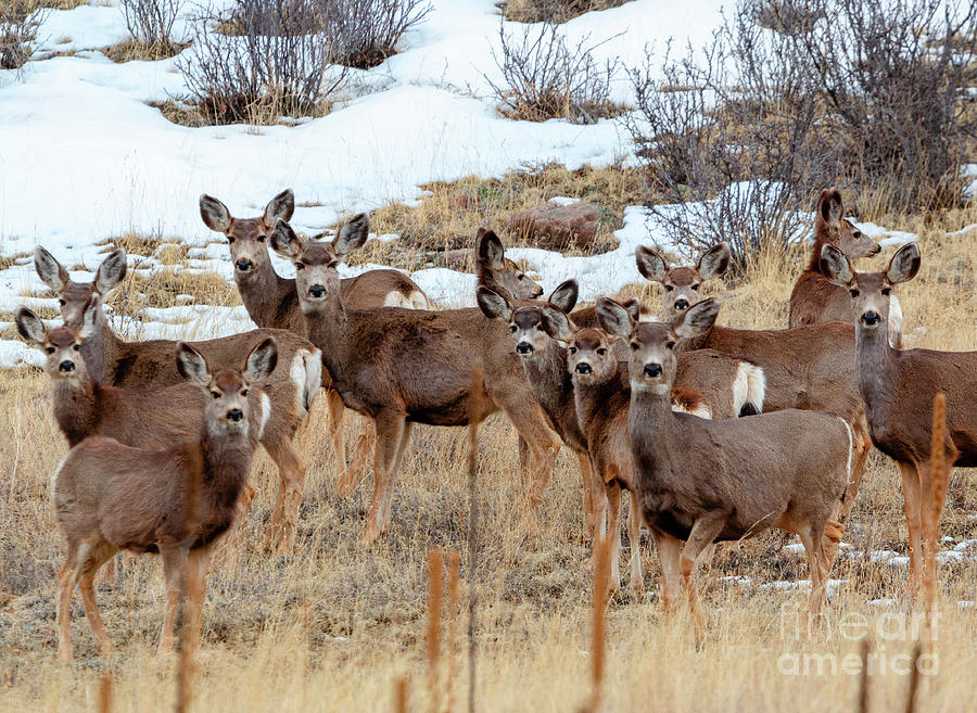 Beautiful Herd Of Mule Deer Photograph