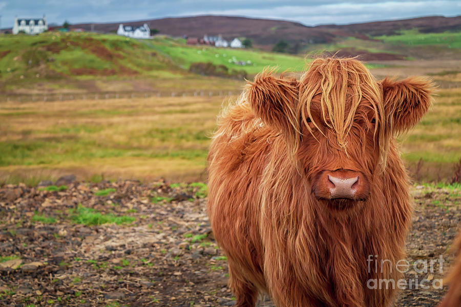 Beautiful Highland Cow Photograph