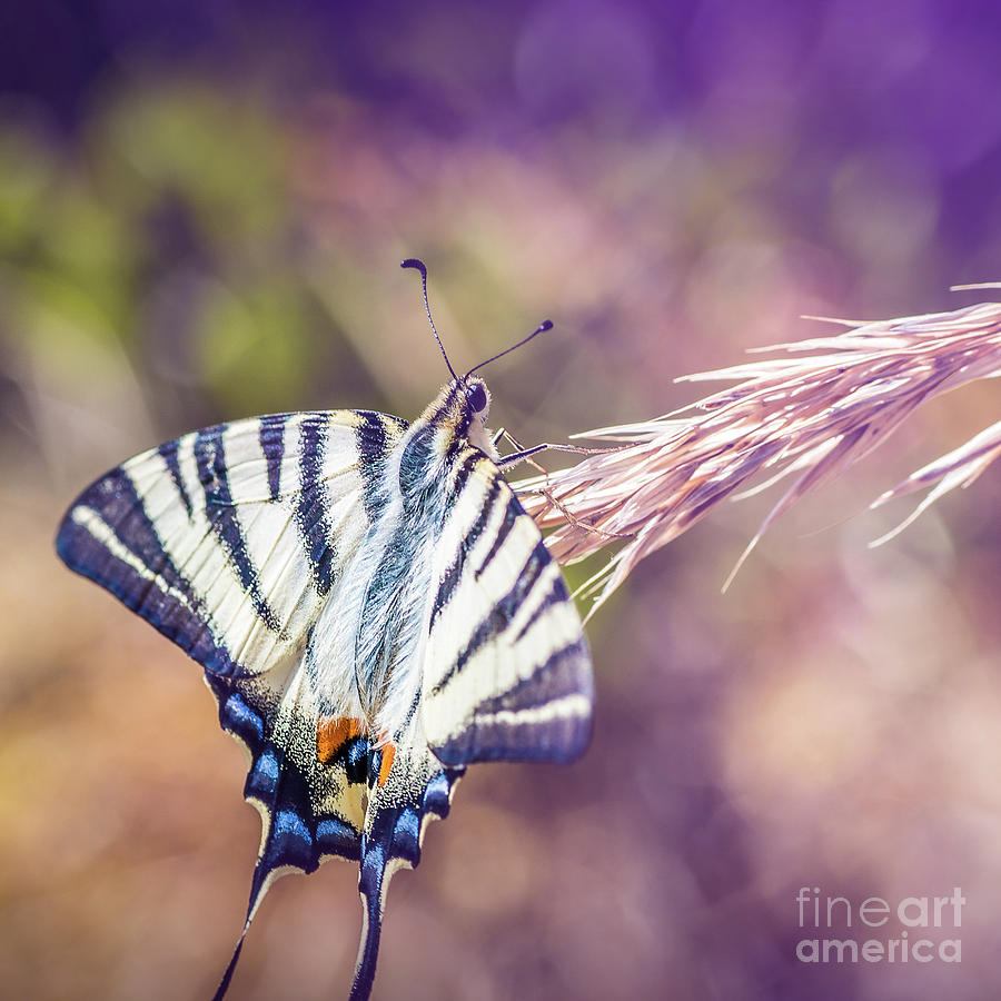 Beautiful Iphiclides podalirius butterfly on ear of corn by Gregory DUBUS