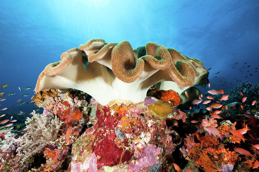 Beautiful Leather Coral And Sea Goldies Photograph by Ifish