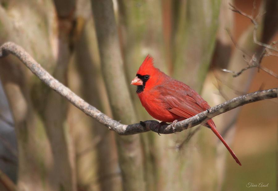 Beautiful Male Cardinal by Trina Ansel