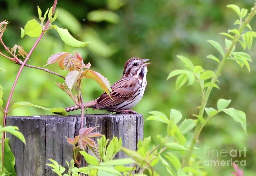 Beautiful Music - A Song Sparrow Sings by Kerri Farley