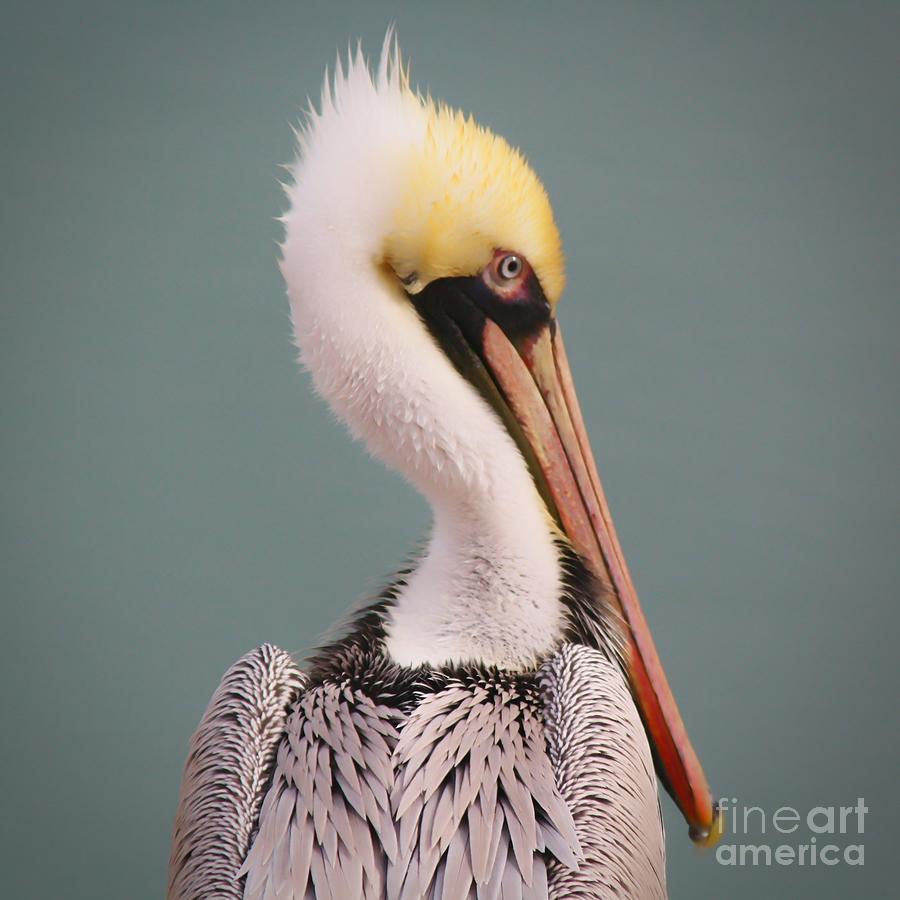 Beautiful Pelican Portrait by Paulette Thomas