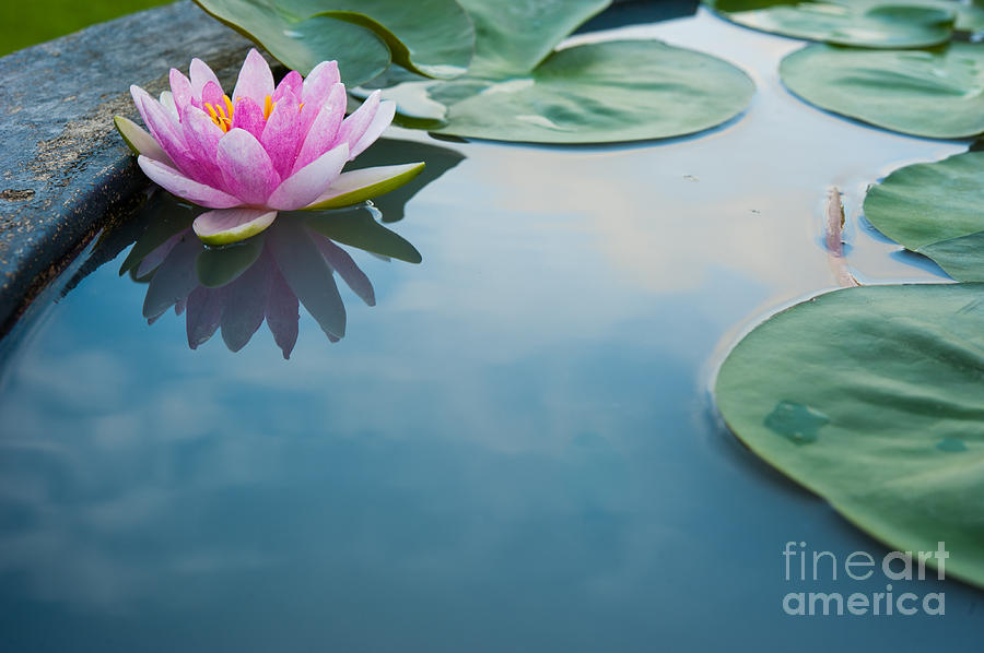 Pond Photograph - Beautiful Pink Lotus Water Plant by Vasin Lee