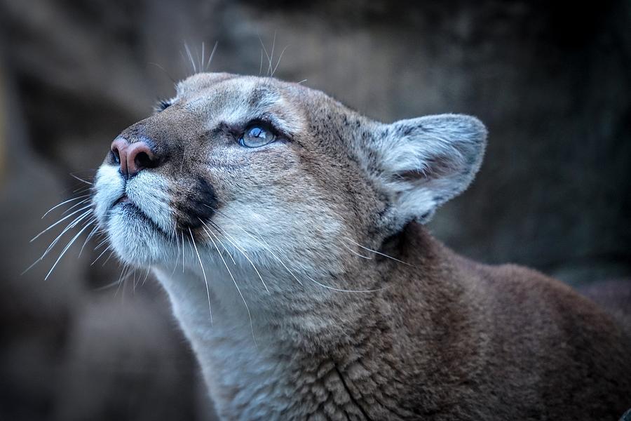 Beautiful Puma by Susan Rydberg