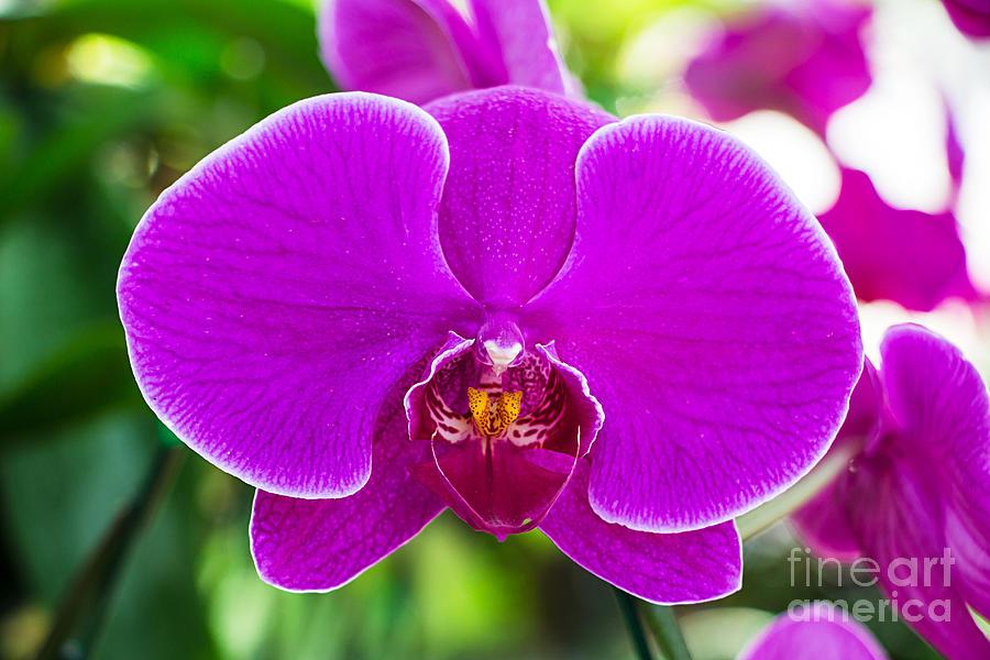 Romance Photograph - Beautiful Purple Orchid Flowers by Daimond Shutter