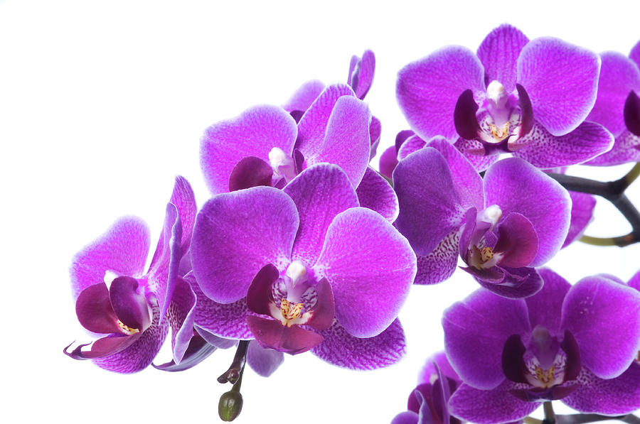 Beautiful Purple Orchid On White Photograph by Digihelion