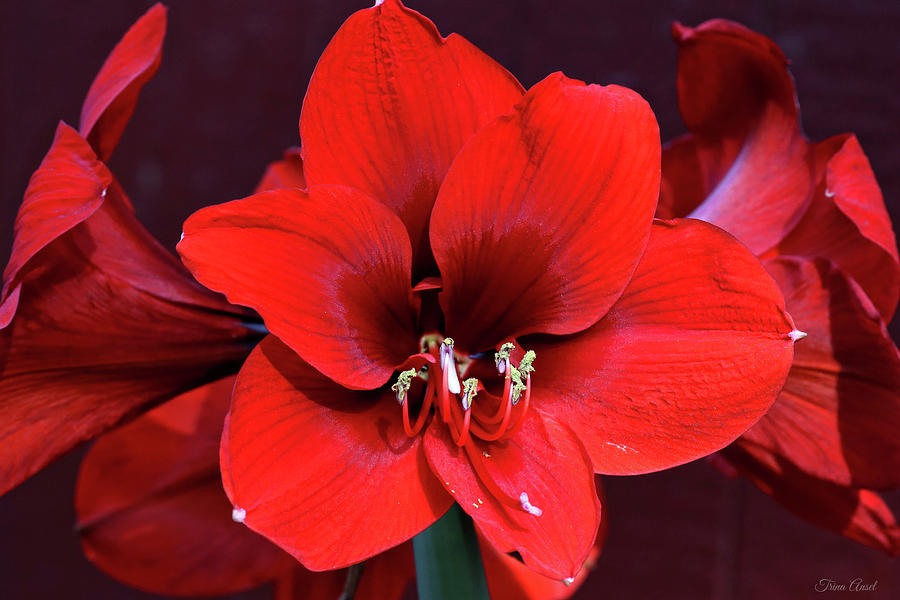Beautiful Red Amaryllis by Trina Ansel