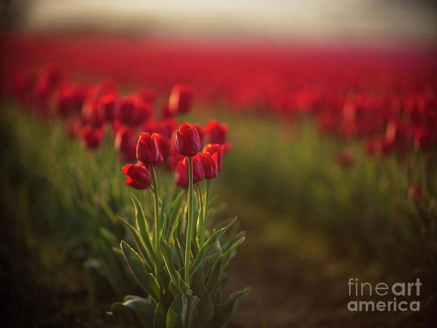 Beautiful Red Tulips Morning Light by Mike Reid