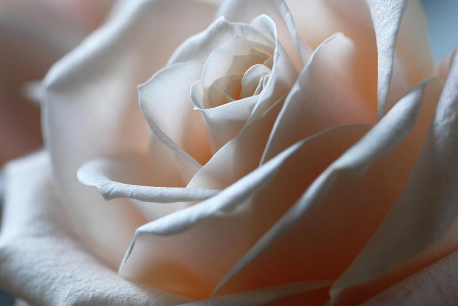 Beautiful Rose Close-up Photograph by Olgaza