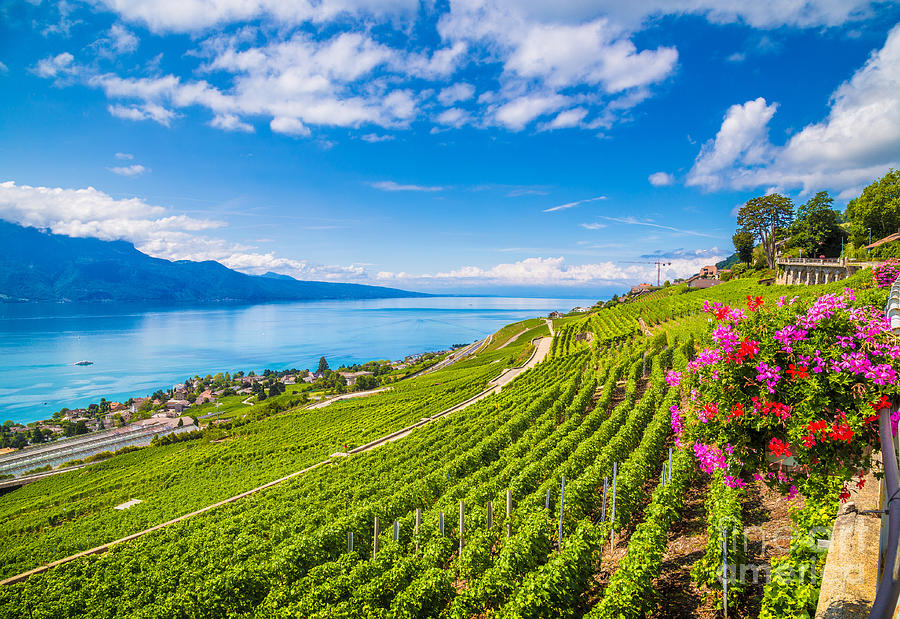 Geneve Photograph - Beautiful Scenery With Rows Of Vineyard by Canadastock