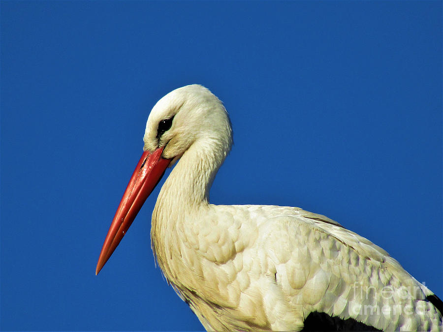 Beautiful Stork by Jurgen Huibers