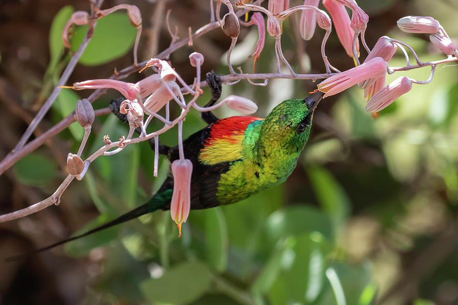Beautiful Photograph - Beautiful Sunbird by Thomas Kallmeyer