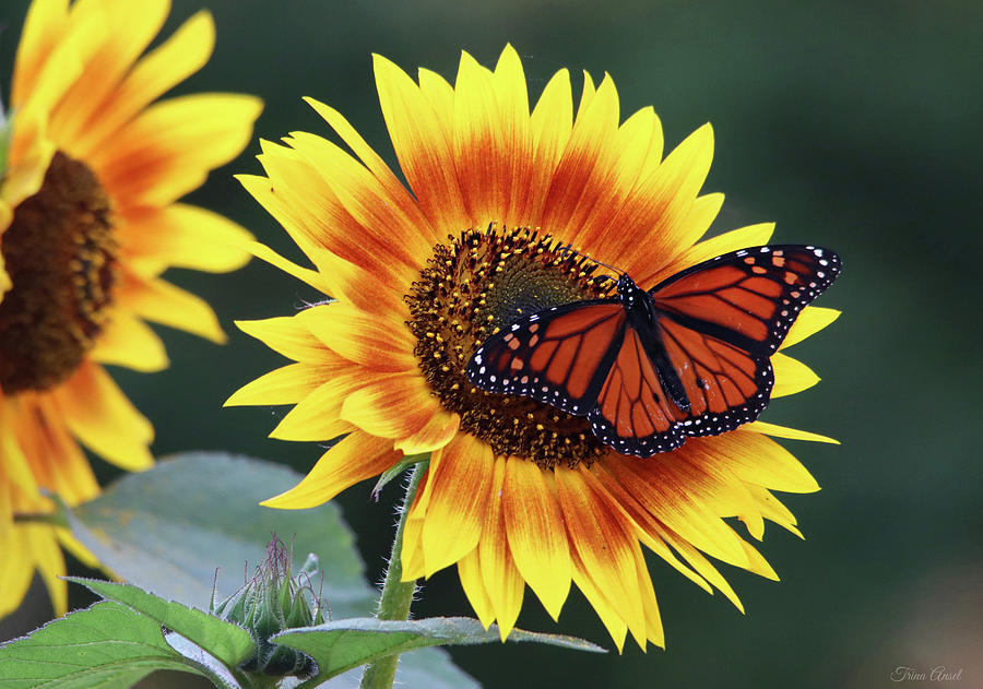 Beautiful Sunflower with Monarch Butterfly by Trina Ansel