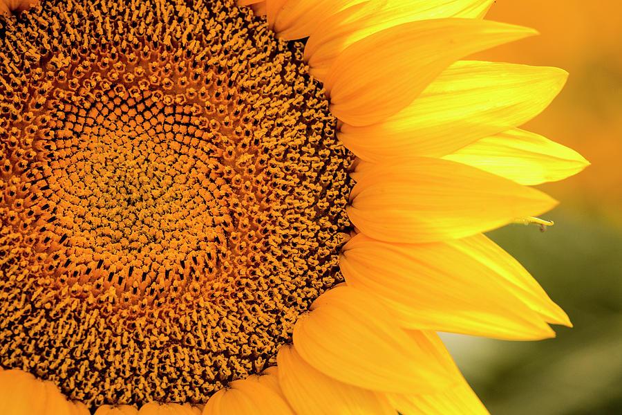 Beautiful Sunlit Sunflower Bloom by Teri Virbickis