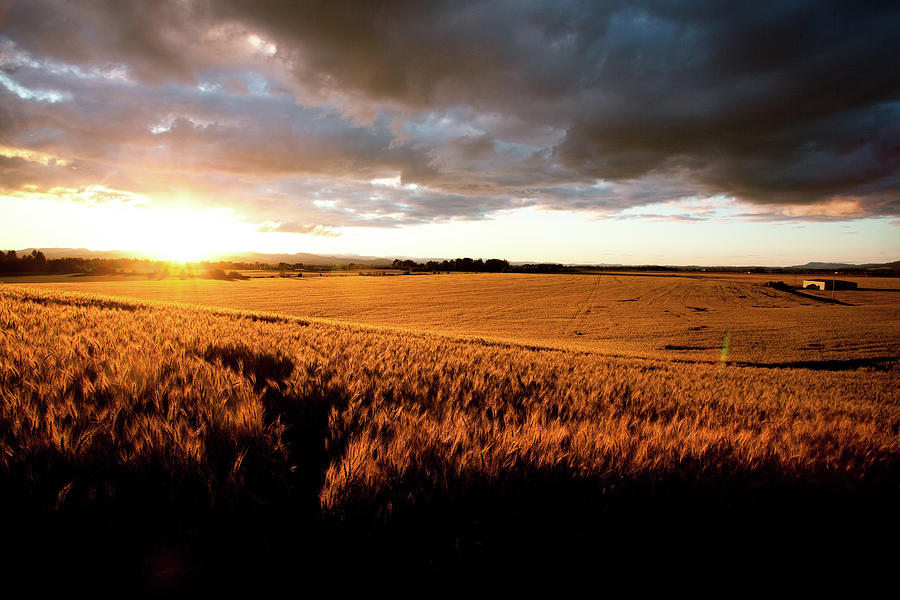 Beautiful Sunset Over Ripe Wheat Field Photograph by Timnewman