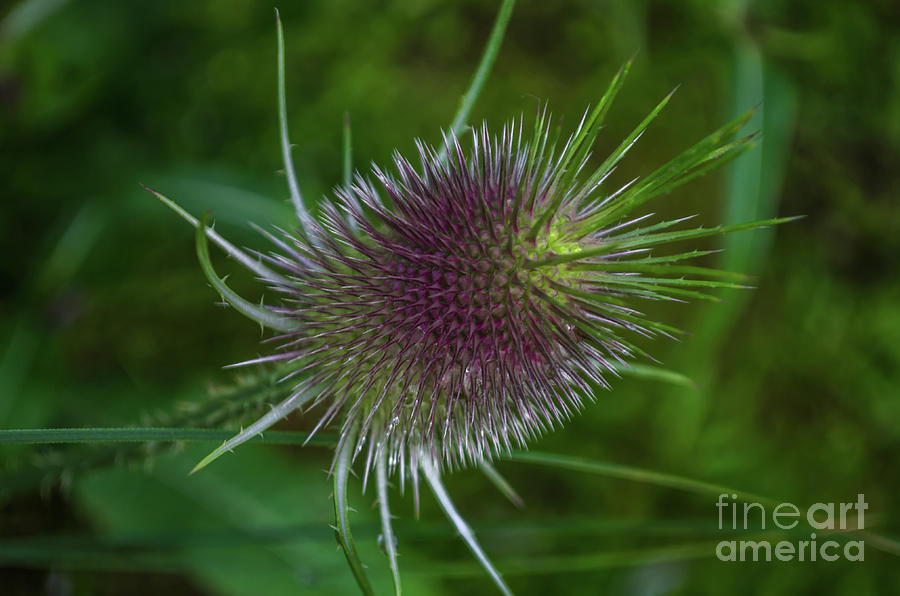 beautiful teasel by Michelle Meenawong