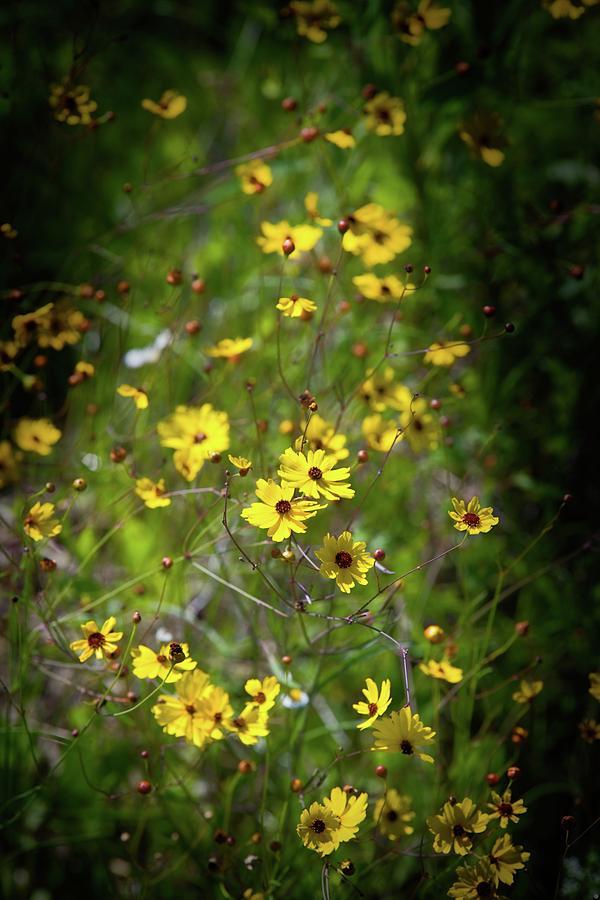 Beautiful Tickseed Flowers by T Lynn Dodsworth
