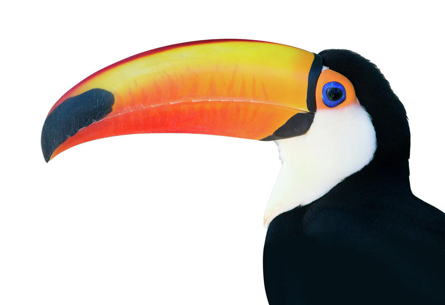Beautiful Toucan On White Background Photograph by Ranplett