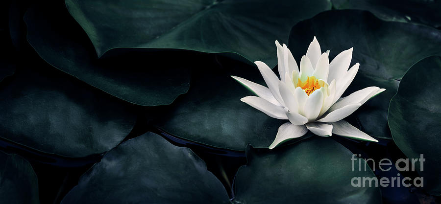 Beautiful white lotus flower closeup. Exotic water lily flower o by Jelena Jovanovic