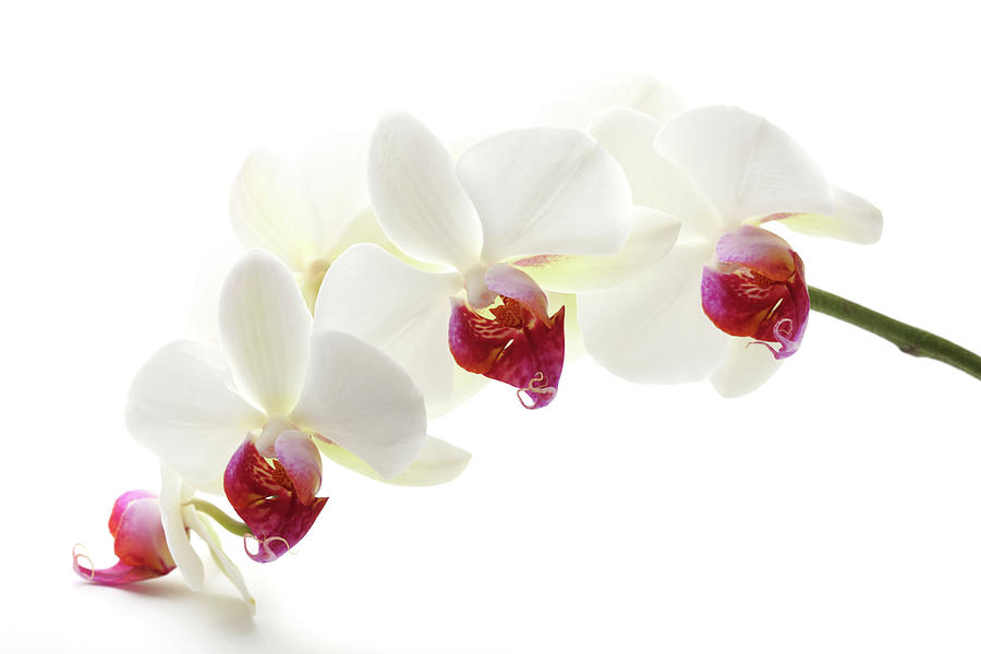 Beautiful White Orchid Xxxl Photograph by Pannonia