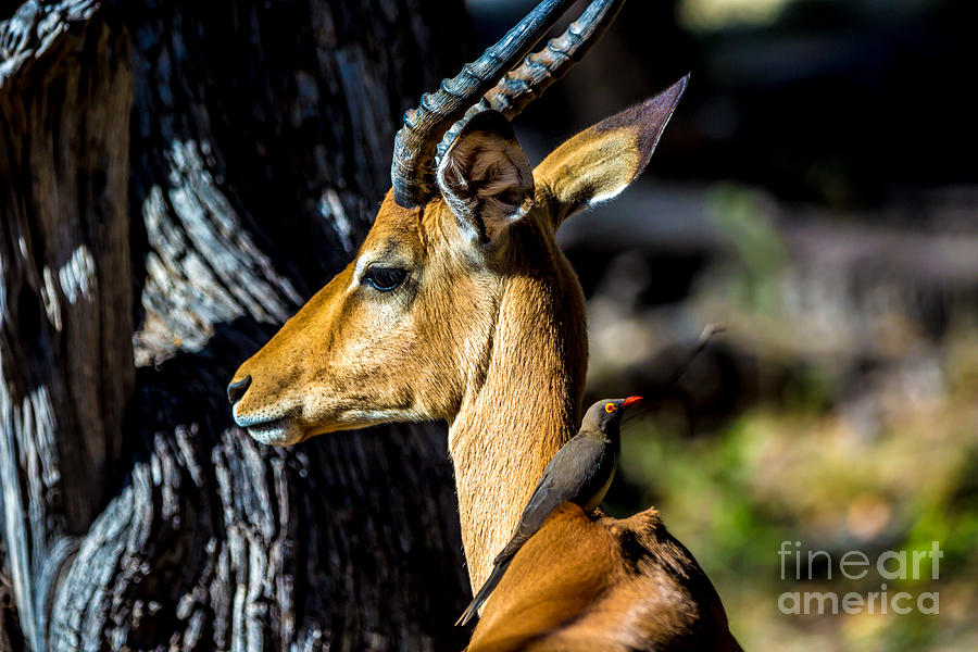 Pond Photograph - Beautiful Wildlife In Chobe National by Lmspencer