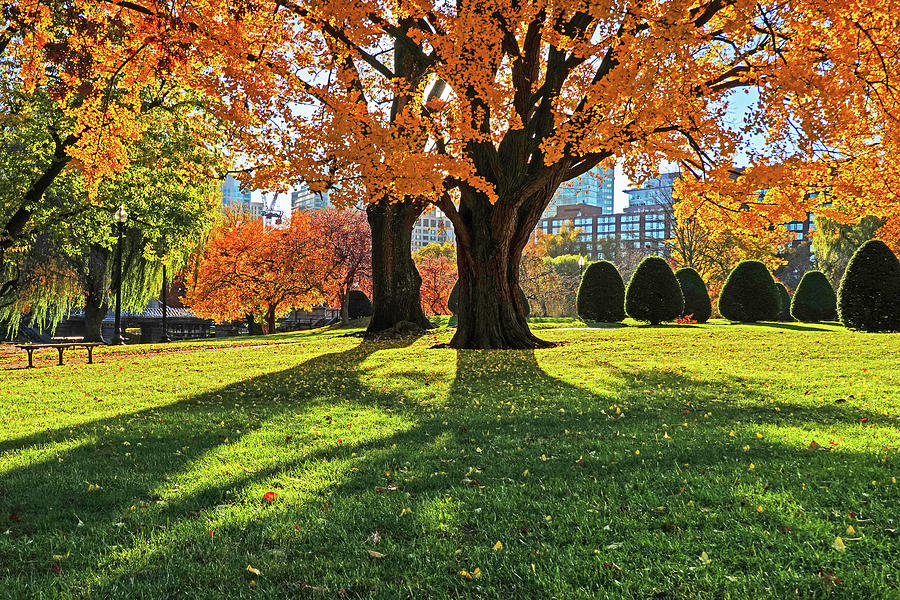 Beautiful Yellow Tree Casting a Shadow Boston Public Garden Boston MA by Toby McGuire