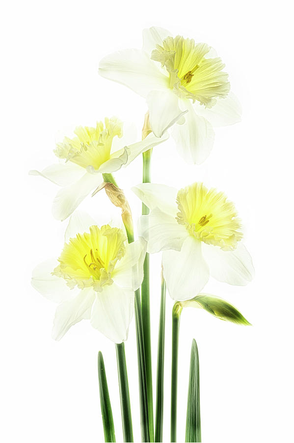 Beauty of Daffodils by Usha Peddamatham