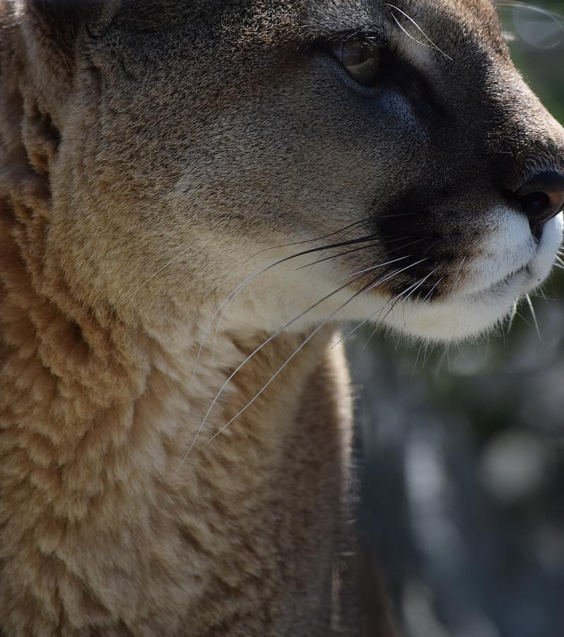 Beauty of the Mountain Lion by Lkb Art And Photography