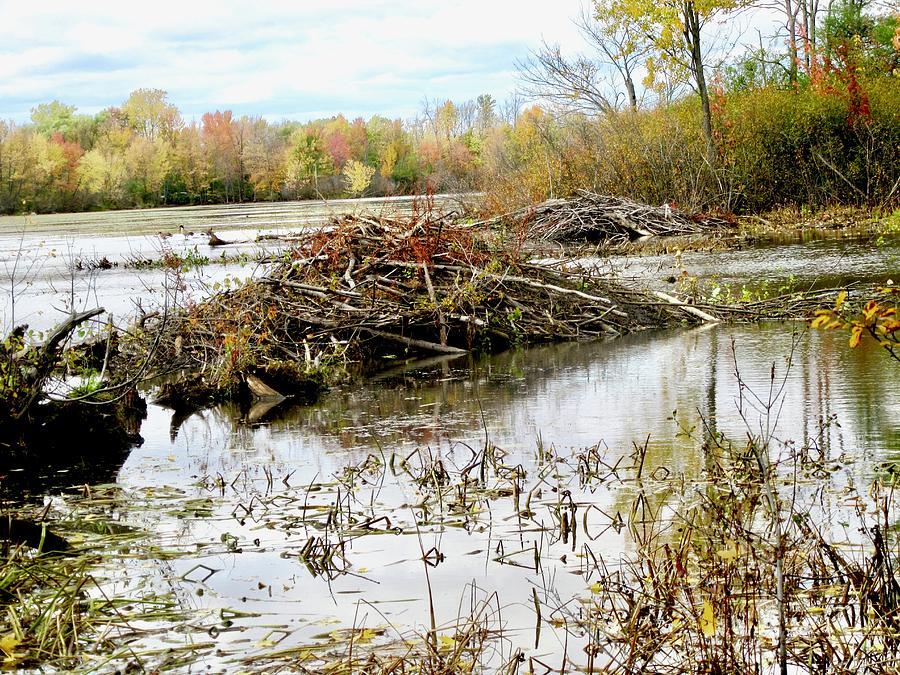 Beaver Dam by Stephanie Moore
