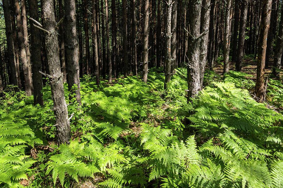 Because it's Summer - Sun Dappled Ferns and Pine Trees by Georgia Mizuleva