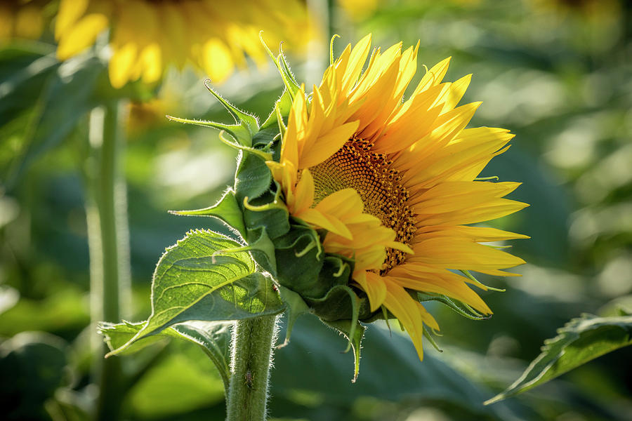 Becoming a Sunflower by Teri Virbickis