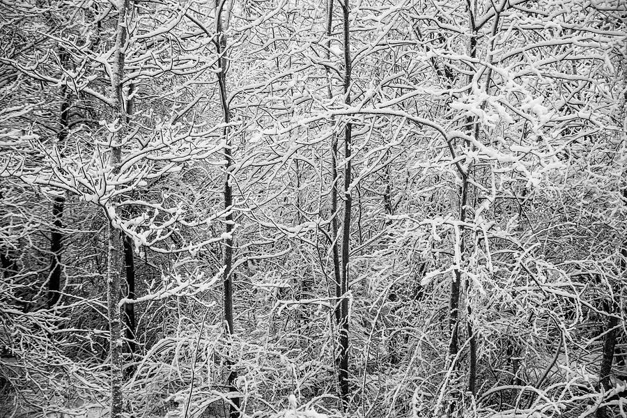 Bedford Aspens In April Snow by Irwin Barrett